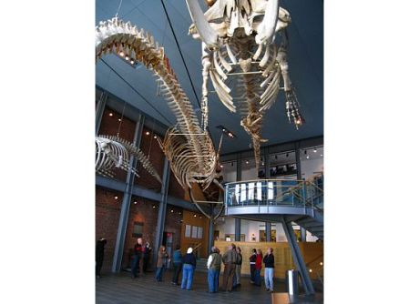 Whale skeletons in Museum Lobby