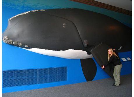 Ms. Pavlicek & Right Whale Model