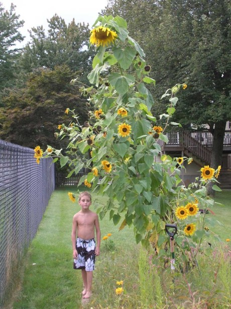 David sunflower