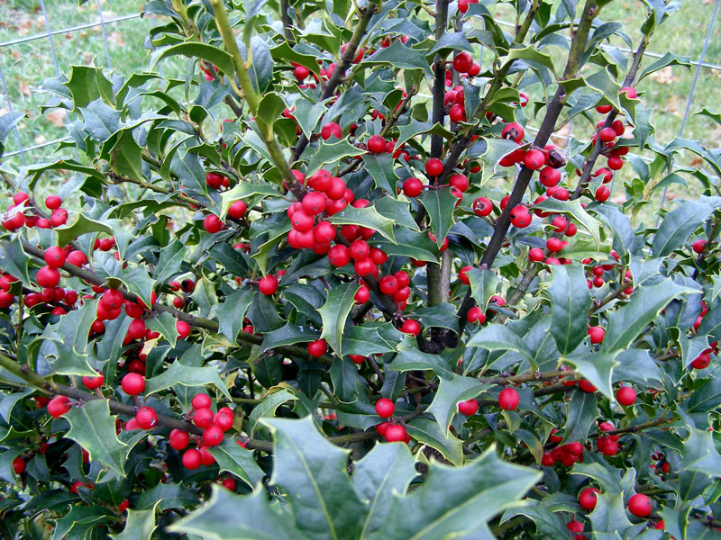 American holly is not only found as a bush but it can grow as a tree