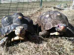 Shebly (female,on left) and Fireball (male,on right)