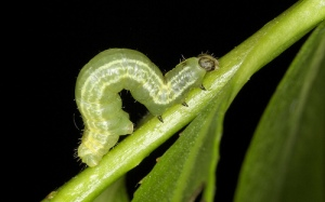 winter-moth-catepillar