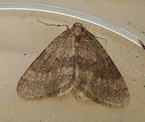 winter_moth1