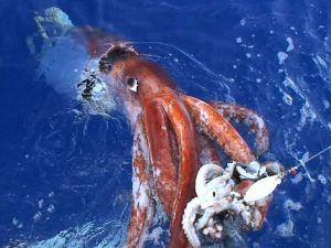 giant-squid_544_600x450