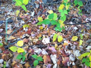 Poison Ivy (yellow & green)